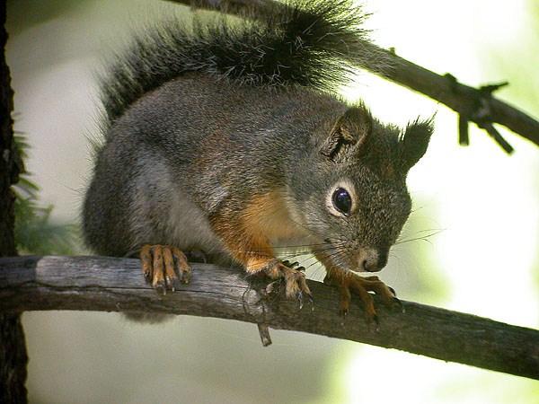 Douglas squirrel.  Photo by Len Blumin