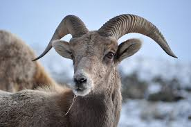 Bighorn sheep.  Photo by Jack Barrie